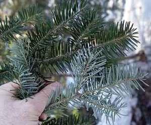 balsam-fir-needles